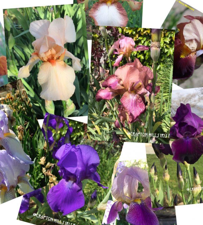 Guardian Garden Iris
